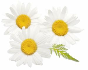 flores-de-manzanilla-aceites-henna-bio-peluqueria-tintes-vegetales-colorantes-naturales-barcelona-sin-amoniaco-colorantevegetal-color-natural-plantas